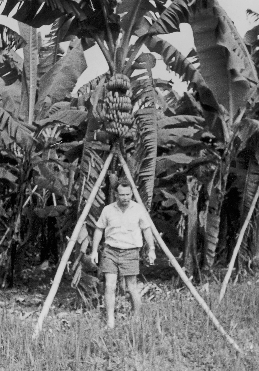 12 Plantage Bananen